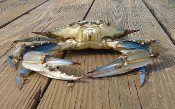 451_big_blue_crab
